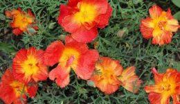 Эшшольция - выращивание из семян, когда сажать