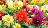 Георгины однолетние – выращивание из семян, когда сажать