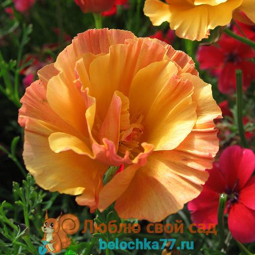 Абрикосовый шифон (Apricot shiffon)