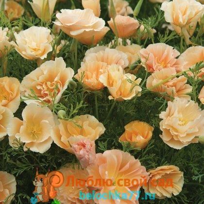 Персиковое мороженое (Pearh sorbet)