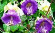 Кобея - выращивание из семян, когда сажать