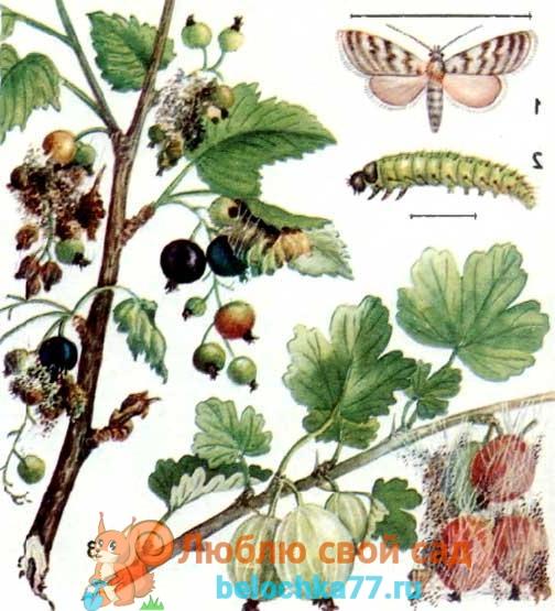 Плодовый пилильщик