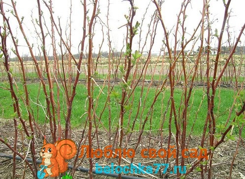 Когда обрабатывать малину весной