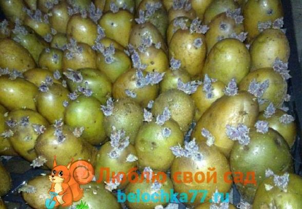 С чего начать обработку семенного картофеля