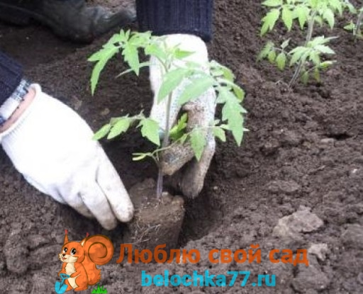 Технология посадки помидоров в теплицу