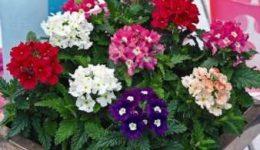 Вербена – выращивание из семян в домашних условиях