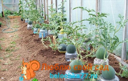Сорта арбуза для посадки в теплице из поликарбоната