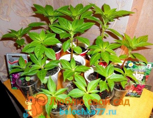 Выращивание бальзамина из семян в домашних условиях