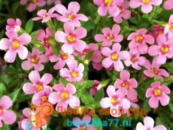Бакопа - выращивание из семян, когда сажать