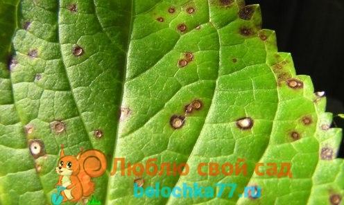 крапчатости, разводов, пятнистости на листьях (вирусных болезней