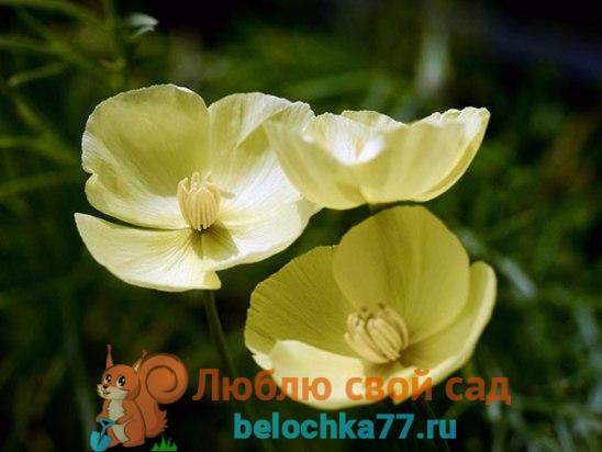 Эшшольция дернистая — Eschscholzia caespitosa