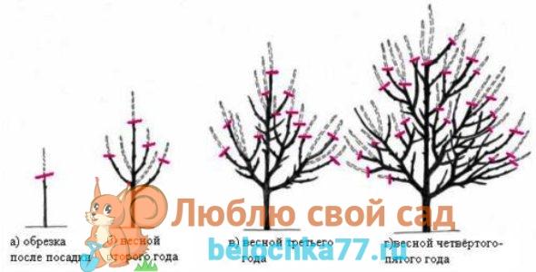 Обрезка молодой яблони весной