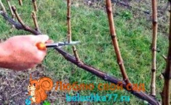 Обрезка винограда весной: видео для начинающих