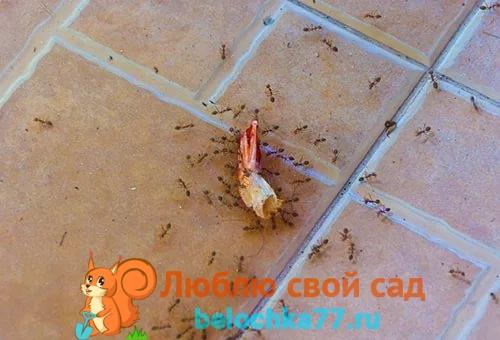 Как избавиться от домашних рыжих муравьев в квартире навсегда