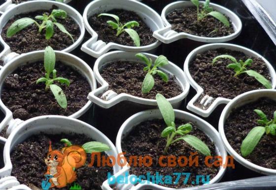 Перемещение ростков в отдельные емкости