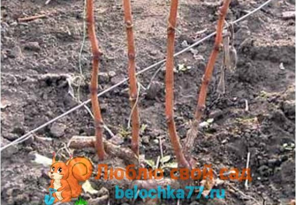 Весенняя обрезка винограда, ее польза и сроки проведения