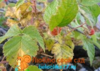 Обработка малины весной от болезней и вредителей. Уход за малиной весной