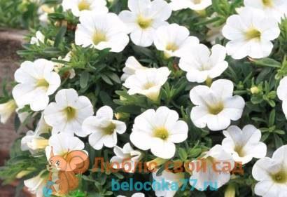 Калибрахоа - выращивание из семян, когда сажать