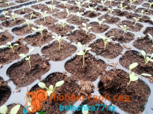 Как вырастить рассаду из семян в домашних условиях
