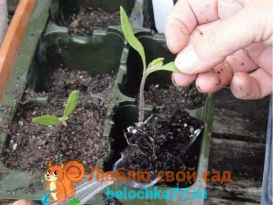 Особенности пересадки вытянувшейся рассады помидоров