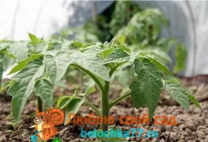 Когда высаживать рассаду помидоров в теплицу и открытый грунт в 2018 году