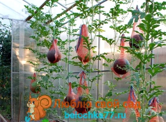 Уход за арбузами летом