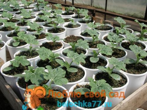 Выращивание рассады арбуза