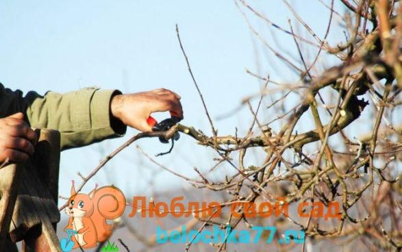 Для чего обрезать яблоню весной