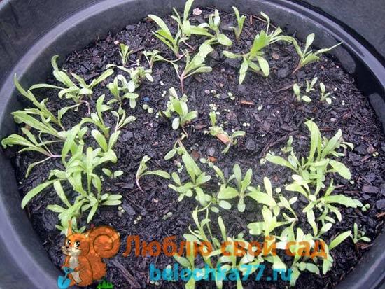 Как из семян вырастить левкои из семян в домашних условиях