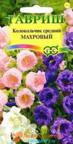 средний колокольчик с махровыми цветочками