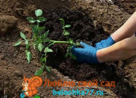 Технология посадки томатов в открытый грунт