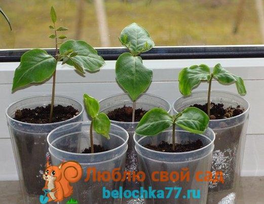 Кобея выращивание из семян