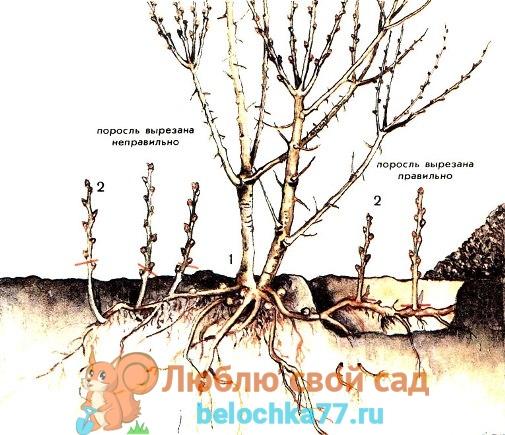 Как бороться с порослью вишни