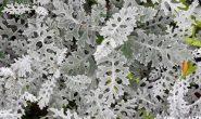 Цинерария - выращивание из семян, когда сажать