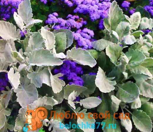 Цинерария - выращивание из семян, когда сажать на рассаду