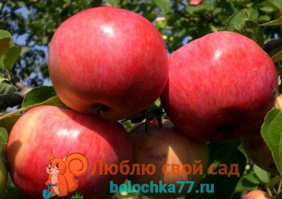 Сорта яблок фото с названием и описанием