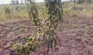 Посадка груши весной и осенью саженцами
