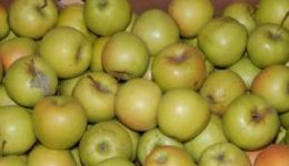 Лучшие сорта яблонь с фото и названиями