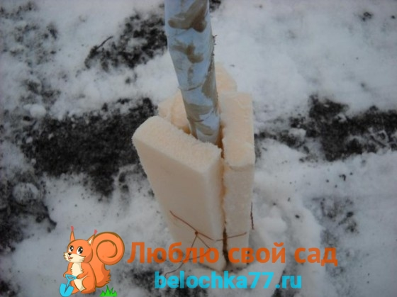 Подготовка саженца груши к зиме