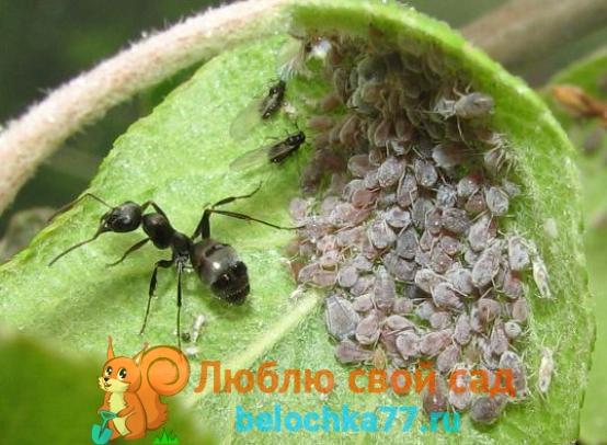 Тля и муравьи на яблоне