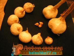 Лук-чеснок Рокамболь - выращивание и уход