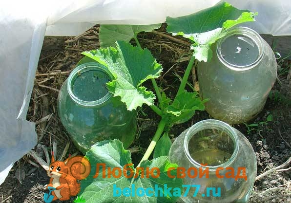 Защита растений и рассады помидор от заморозков