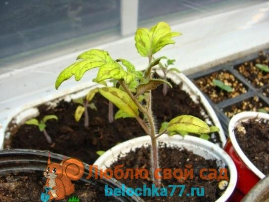 Причины пожелтения листьв томатов