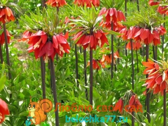 Помидоры. Выращивание томатов. Сорта и рассада, теплица и огород 26