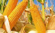 Кукуруза - посадка и уход в открытом грунте