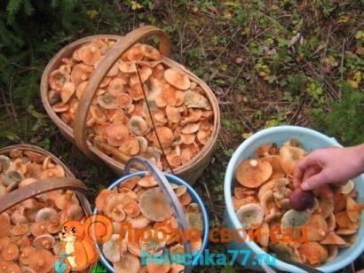Рыжик гриб - фото и описание, как готовить