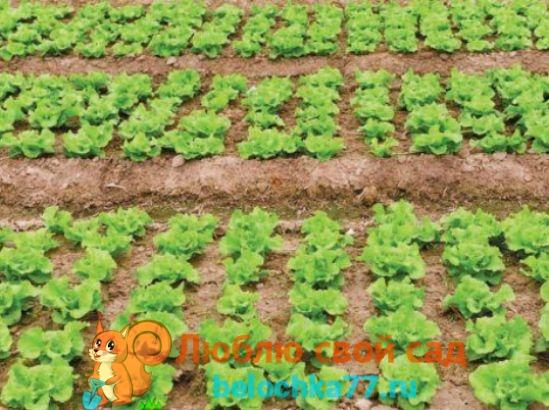 Выращивание салата из семян в открытом грунте