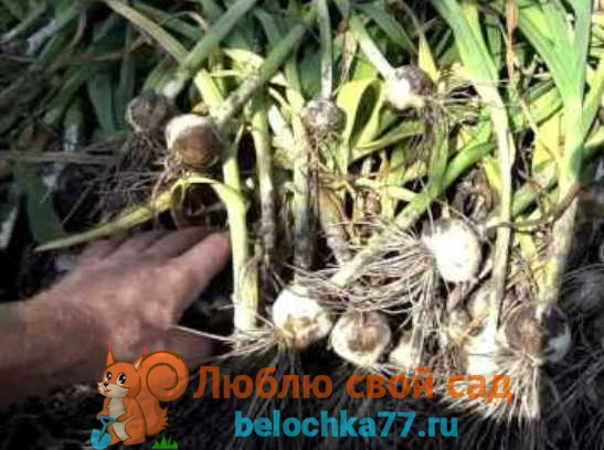 Сбор и хранение урожая Рокамболя