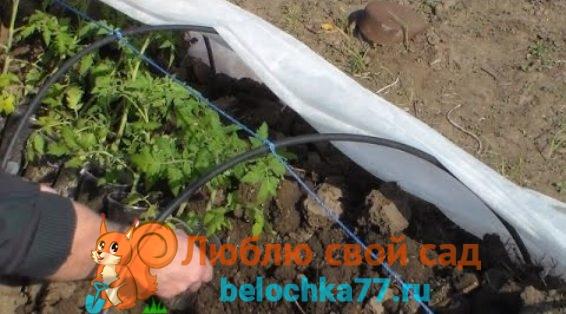 закалка рассады томатов