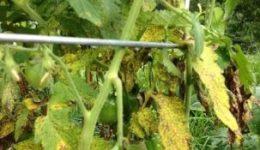 Почему желтеют листья у помидор: фото, видео